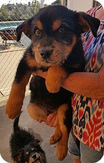 Irish Wolfhound/Collie Mix Puppy for adoption in Temecula, California - Thor