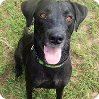 Labrador Retriever/Weimaraner Mix Dog for adoption in Charleston, Arkansas - Boomer