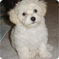 Adopt A Pet :: 10 week old Bichon/Havanese - Nanuet, NY