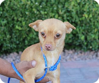 Chihuahua Mix Dog for adoption in Las Vegas, Nevada - JERRY