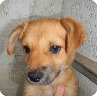 Labrador Retriever Mix Puppy for adoption in Vancouver, British Columbia - Amber