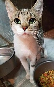 Domestic Shorthair Cat for adoption in Maryville, Tennessee - Roseanna