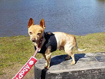 Chihuahua Dog for adoption in Pacific Grove, California - Bologna