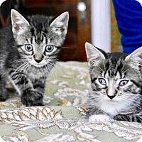 Adopt A Pet :: Lavender and Tonks, Stunning Tabby Sisters - Brooklyn, NY