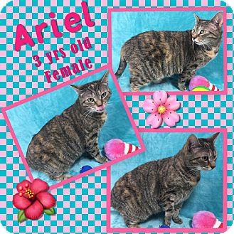Domestic Shorthair Cat for adoption in Siler City, North Carolina - Ariel