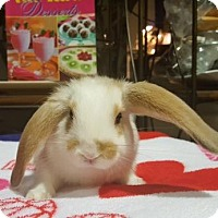 Lop, English Mix for adoption in Los Angeles, California - Marigold