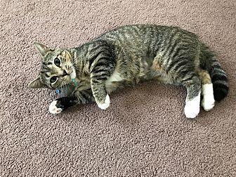 Domestic Shorthair Cat for adoption in Greensburg, Pennsylvania - Sassy