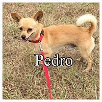 Adopt A Pet :: Pedro - Comanche, TX