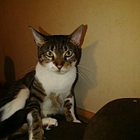 Adopt A Pet :: Kitty - Manhattan, KS