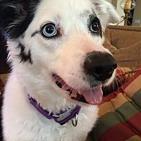 Adopt A Pet :: CHARLIE (Courtesy List) - San Pedro, CA