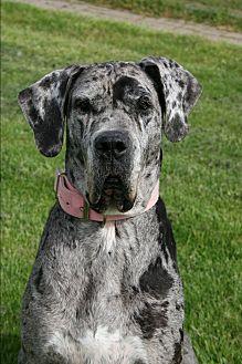 Great Dane Mix Dog for adoption in Lake Odessa, Michigan - Blizzard