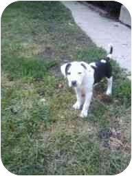 American Pit Bull Terrier Mix Puppy for adoption in Plainfield, Illinois - Scratch