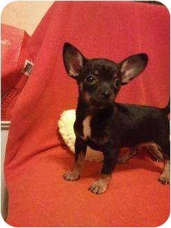 Chihuahua Mix Puppy for adoption in Astoria, New York - Tina