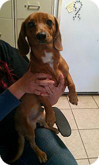 Dachshund Mix Dog for adoption in Hammond, Louisiana - Shortstop