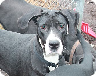 Great Dane Dog for adoption in Woodstock, Illinois - Anne