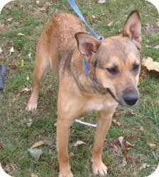 German Shepherd Dog/Labrador Retriever Mix Dog for adoption in Chicago, Illinois - Coco (ADOPTED!!)