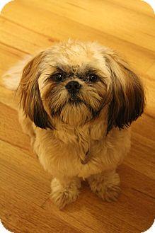 Shih Tzu Dog for adoption in Wytheville, Virginia - Jake