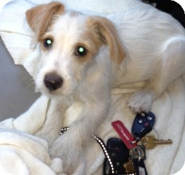 Jack Russell Terrier/Fox Terrier (Toy) Mix Puppy for adoption in Encino, California - Rascal