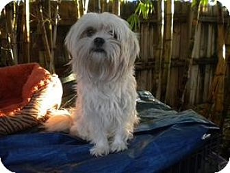 Lhasa Apso Dog for adoption in Fort Lauderdale, Florida - Sweety
