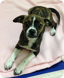 Chihuahua Mix Puppy for adoption in Dublin, California - Laila