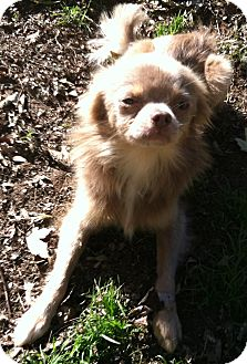 Chihuahua Dog for adoption in Smyrna, Georgia - TOFER
