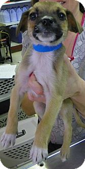 Chihuahua Mix Puppy for adoption in Waldorf, Maryland - Rocky