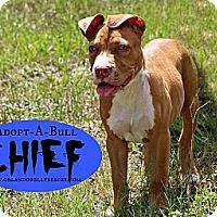 Adopt A Pet :: Chief - Orlando, FL