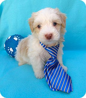 Cockapoo/Spaniel (Unknown Type) Mix Puppy for adoption in Irvine, California - Frost