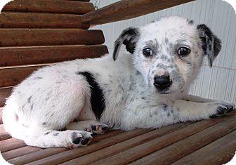 Australian Cattle Dog/Blue Heeler Mix Puppy for adoption in Starkville, Mississippi - Lena