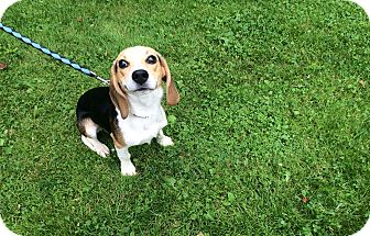 Beagle Dog for adoption in New Castle, Pennsylvania - Thompson