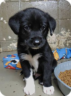 Labrador Retriever Mix Puppy for adoption in Henderson, North Carolina - Anthony
