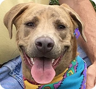 Labrador Retriever Mix Dog for adoption in Evansville, Indiana - Gilly