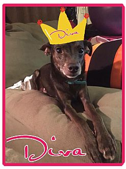 Rat Terrier/Miniature Pinscher Mix Dog for adoption in Cheney, Kansas - Diva