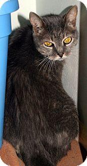 Domestic Mediumhair Cat for adoption in Putnam Hall, Florida - Princess Leia