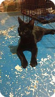 Domestic Shorthair Cat for adoption in Toronto, Ontario - Sparrow