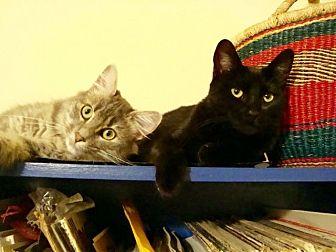 Domestic Shorthair Cat for adoption in Berkeley, California - Erza