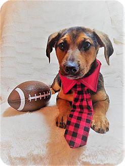 Dachshund Mix Puppy for adoption in Elkton, Maryland - Oreo