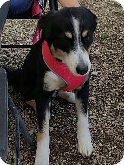 Australian Shepherd Mix Dog for adoption in Hammond, Louisiana - Kahlia