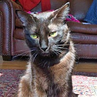 Domestic Shorthair Cat for adoption in Edmonton, Alberta - Evan