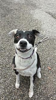 English Pointer/Retriever (Unknown Type) Mix Dog for adoption in Olympia, Washington - Jill