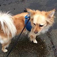 Adopt A Pet :: Nico - Longview, WA