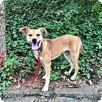 Adopt A Pet :: Piper RBF - Washington, DC