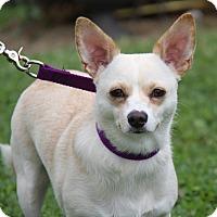 Chihuahua/Pomeranian Mix Dog for adoption in Marietta, Ohio - Angel (Spayed)