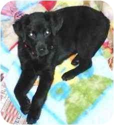 Labrador Retriever Mix Puppy for adoption in Cincinnati, Ohio - Hansel