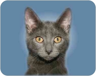 Domestic Shorthair Cat for adoption in Montgomery, Illinois - Grayson