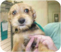 Cairn Terrier Mix Dog for adoption in San Clemente, California - ERNIE