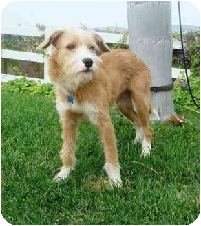 Terrier (Unknown Type, Medium) Mix Dog for adoption in El Cajon, California - scruffy