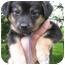 Photo 2 - Collie Mix Puppy for adoption in Mt. Prospect, Illinois - Pretzel