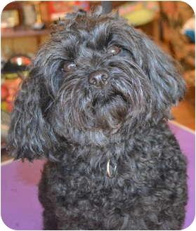 Yorkie, Yorkshire Terrier/Miniature Poodle Mix Dog for adoption in Greensboro, North Carolina - Hogan