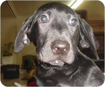 Labrador Retriever Mix Puppy for adoption in Old Bridge, New Jersey - Lace